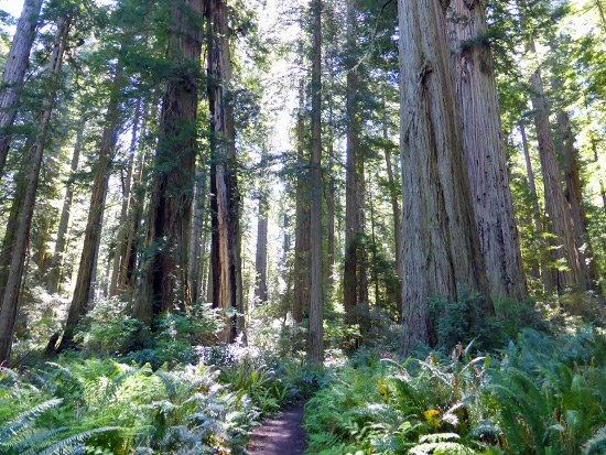 Redwoods along the Lady Bird Johnson Nature Trail